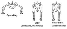 File:Sprawling and erect hip joints - horiz.png