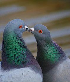 pigeon kiss