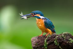 Kingfisher 5 by kantlawyer on 500px