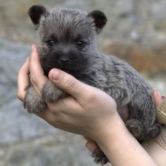 A Grey Brindle Cairn puppy Cairn Terrier Puppies, Terrier Breeds, Dog Breeds, Cute Puppies, Cute Dogs, Dogs And Puppies, Westies, Cairns, Norwich Terrier