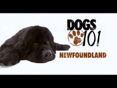 DOGS 101 - Newfoundland - Terranova - FUN and informative video(s)