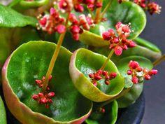 Crassula umbella 'Wine Cup' - See more at: http://worldofsucculents.com/crassula-umbella-wine-cup