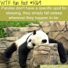 Panda sleeping - WTF fun facts