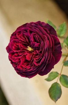 burgundy david austin - Google Search