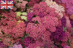 British pink achillea at New Covent Garden Flower Market - August 2016