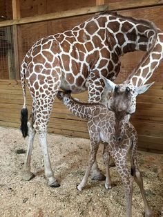Good news for fans of April the giraffe and her new baby! Giraffe Pictures, Animal Pictures, Cute Baby Animals, Animals And Pets, Wild Animals, Beautiful Creatures, Animals Beautiful, Giraffe Family, Giraffes