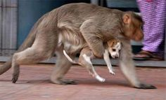 A monkey in India has adopted a tiny puppy and protects him from the dangers of the street, even fending off stray dogs that could attack the young pup.