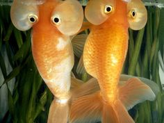 two bubble eye goldfish stare outside their aquarium, april photograph by paul zahl, national geographic National Geographic, Weird Sea Creatures, Ocean Creatures, Types Of Animals, Cute Animals, Wild Animals, Bubble Eye Goldfish, Bubble Fish, Weird Fish