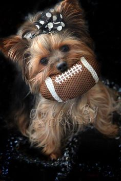 The Popular Pet and Lap Dog: Yorkshire Terrier - Champion Dogs Yorky Terrier, Yorshire Terrier, Bull Terriers, Animals And Pets, Baby Animals, Funny Animals, Cute Animals, Exotic Animals, Yorkies