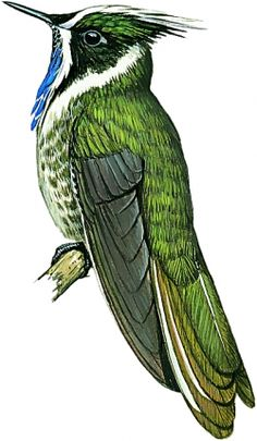 361 new bird species discovered—a quarter of them already threatened (including this Blue-bearded Helmetcrest)!