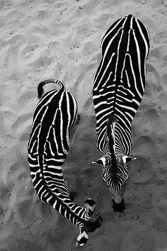 Beautiful creatures #atpatelier #atpateliertravels #zebra