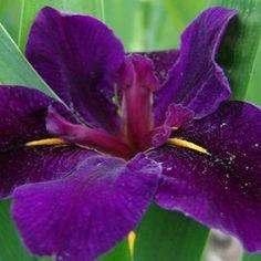 Iris Louisiana Black Gamecock / bloemen van 10cm voor vochtige grond/ zomerbloeier/ www.tuinflora.com