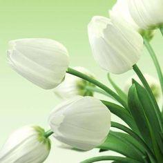 Snow tulips ✨