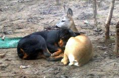 Rottweiler and a deer. Despite what people think about Rotties, they really are gentle giants. Love My Dog, Rottweiler Love, Rottweiler Puppies, Animals And Pets, Funny Animals, Cute Animals, Unusual Animals, Animals Beautiful, Dog Friends