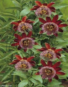 pasiflora alata  o flor de maracuya