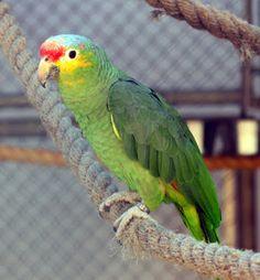 papagaio diadema_amazona autumnalis Brazilian Birds