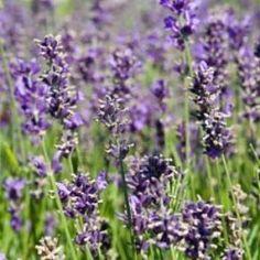 Lavande 'Essence Purple'