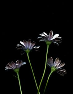 54602 Osteospermum by horticultural art, via Flickr
