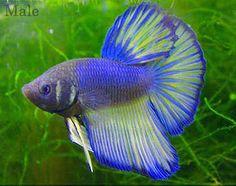 betta fish - /