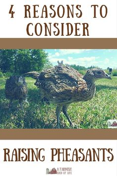 We've been raising pheasants here at Clucky Dickens Farm for a few years now. If you have room and the inclination, here are four reasons to consider raising pheasants on your homestead or farm.