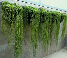 "Senecio rowleyanus, ""String of Pearls"", is striking when it is trailing over rocks or draped along the top of a long wall. Photo: unknown. #senecio_rowleyanus #succulent_stringofpearls #succulents_wall #tropicalgardens"