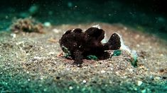 Black Frogfish  #underwaterphotography   #frogfish