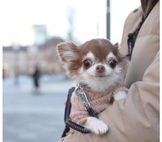 Chihuahua dogs are part of the toy dog breed, bringing a lot of energy in a tiny package. Find out more about the Chiwawa dog here. Chihuahua Puppies, Cute Dogs And Puppies, Pet Dogs, Doggies, Cute Little Animals, Cute Funny Animals, Cute Animal Pictures, Dog Pictures, Toy Dog Breeds