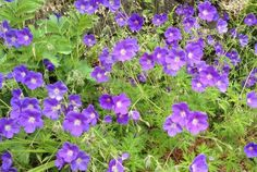 Noted for its depth of color, size of bloom and length of flowering season, award-winning Geranium 'Orion' is a spreading perennial with masses of very large, 2 in. across (5 cm), cup-shaped, vibrant mauve-blue flowers with a small white eye. Each of