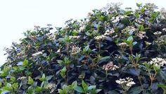 7 mooiste Haagplanten - KleineTuinen.nl Prunus, Hibiscus, Ideas, Peach, Thoughts