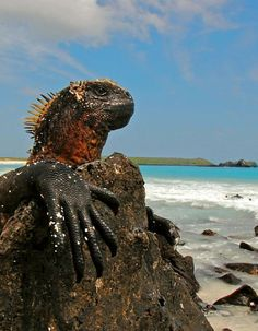 Marine Iguana - saw millions of these in the Galapagos Islands
