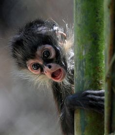 BABY MONKEY ~ HONDURAS❤ can I get one of these too haha @J parker
