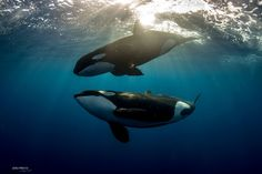 www.pegasebuzz.com | Orca, orque, killer whale, black fish. A rare encounter in Baja Sur 2016.