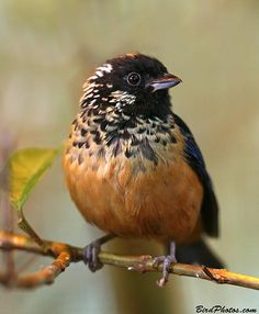 Spangle-cheeked Tanager is found in the highlands of Costa Rica and western Panama