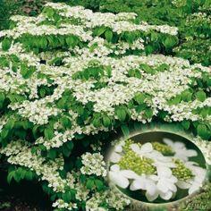 Japanischer Schneeball U0027Watanabeu0027 Jetzt Günstig In Ihrem MEIN SCHÖNER GARTEN    Gartencenter Schnell Und