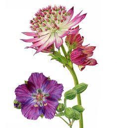 Geranium Phaeum, Astrantia, Geraniums, Botanical Illustration, Watercolor, Floral, Flowers, Plants, Paintings