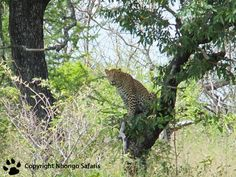 Leopard in the tree Kruger National Park, National Parks, In The Tree, View Photos, Safari, Plants, Plant, Planets