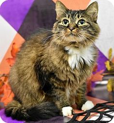 Philadelphia, PA - Domestic Longhair. Meet Twinkles, a cat for adoption. http://www.adoptapet.com/pet/14150885-philadelphia-pennsylvania-cat
