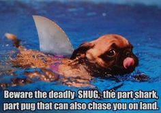 Its a shark!, its a pug!Its a shark acting like its a pug! Animals And Pets, Baby Animals, Funny Animals, Cute Animals, Pretty Animals, Funny Dog Pictures, Animal Pictures, Pug Pics, Shark Week Funny