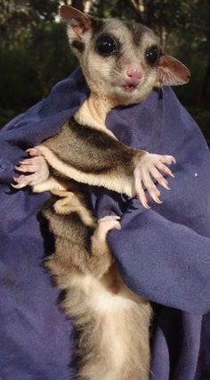 A beautiful Australian sugar glider in the wild. I helped catch and study this amazing wild animal as a volunteer.