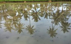 Reflection in the paddies at Sumberkima