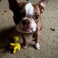 Boston Terrier Puppy:)