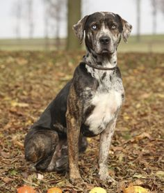 Catahoula leopard dog, also known as Catahoula leopard cur, is an American dog breed named as the state dog of Louisiana Dog Breed Names, Dog Breed Info, Catahoula Cur, Hog Dog, American Dog, Leopard Dog, Dog Facts, Large Dog Breeds, Dogs And Puppies