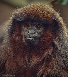 Red Titi Monkey | Flickr: Intercambio de fotos