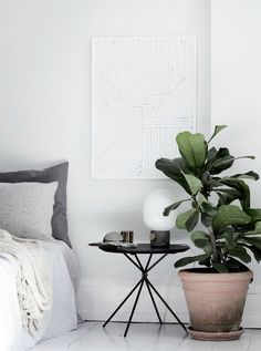 TRENDY PLANTS⎬FIDDLE-LEAF FIG (FICUS LYRATA)