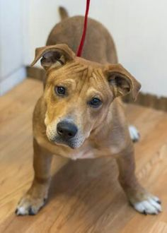 Gooled Bassett Pitbull mix. This pic came up. We think it is our Chunk as a puppy rescued in Alabama. If not he is Chunk's doppelganger!