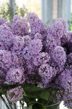love lilac