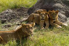 Er moest een parkwachter voor worden omgekocht... maar toen zagen we dan ook dit. #photography #travelphotography #fotografie #canonnederland #canon_photos #panasonic #travelling #reizen #reisjournalist #travelwriter #fotoworkshop #willemlaros.nl #reisfotografie #tw #fb #compositie #natuurfotografie #nature #africa #fb #fbp #tw #uganda