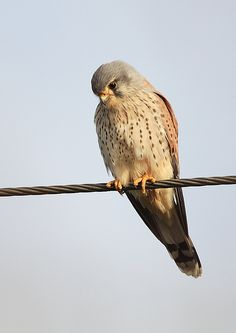 kestrel... my favorite bird