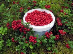 Lingonberries more than you might need over the winter. Hilkka Tikka
