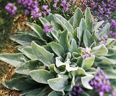 Lamb's Ears.Kids love the fuzzy leaves of this old-fashioned, classic perennial. Soft and silvery, lamb's ear forms comfortable, low-growing mounds. Purple to pink flowers. Name: Stachys byzantina